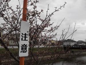 桜0329②
